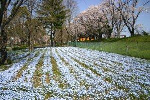 整然と植えられた花畑と桜