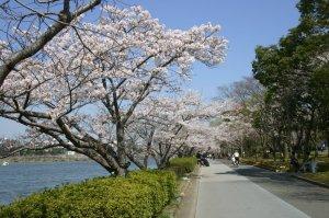 千波湖遊歩道の桜並木