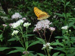 フジバカマにとまる蝶